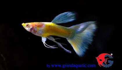 Blue fin and tail guppy fish