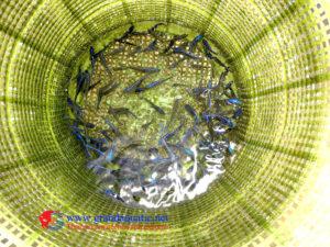 Malawi cichlid farm exporter