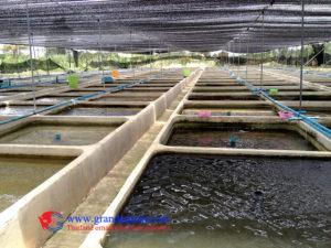 cichlid farm 06