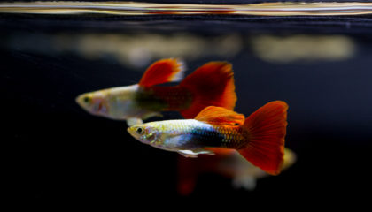 Male Red Platinum Guppy