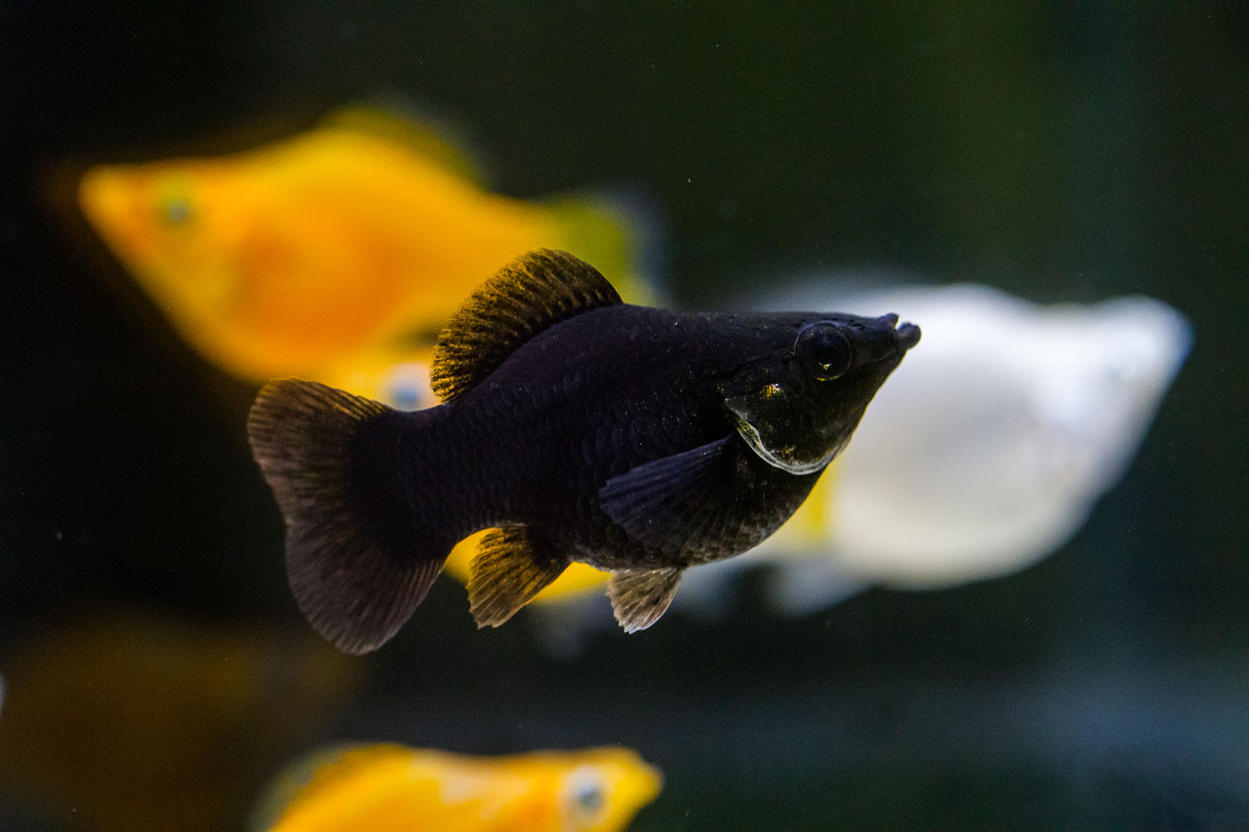 black balloon fish small