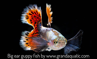 Big ear guppy fish