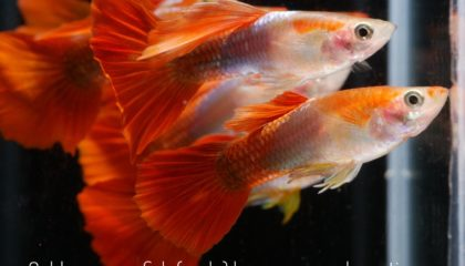 Golden guppy male for aquarium fish for sale