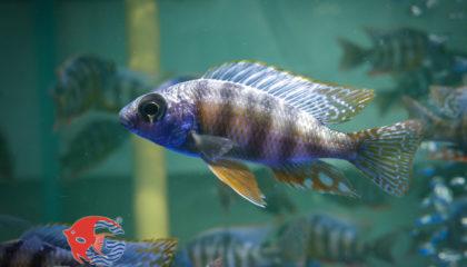 Taiwan Reef Cichlid.