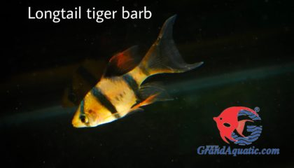 Longtail tiger barb for sale and export