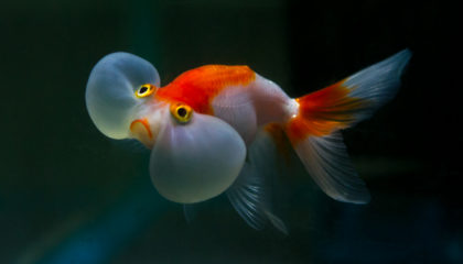 Bubble eye balloon gold fish.