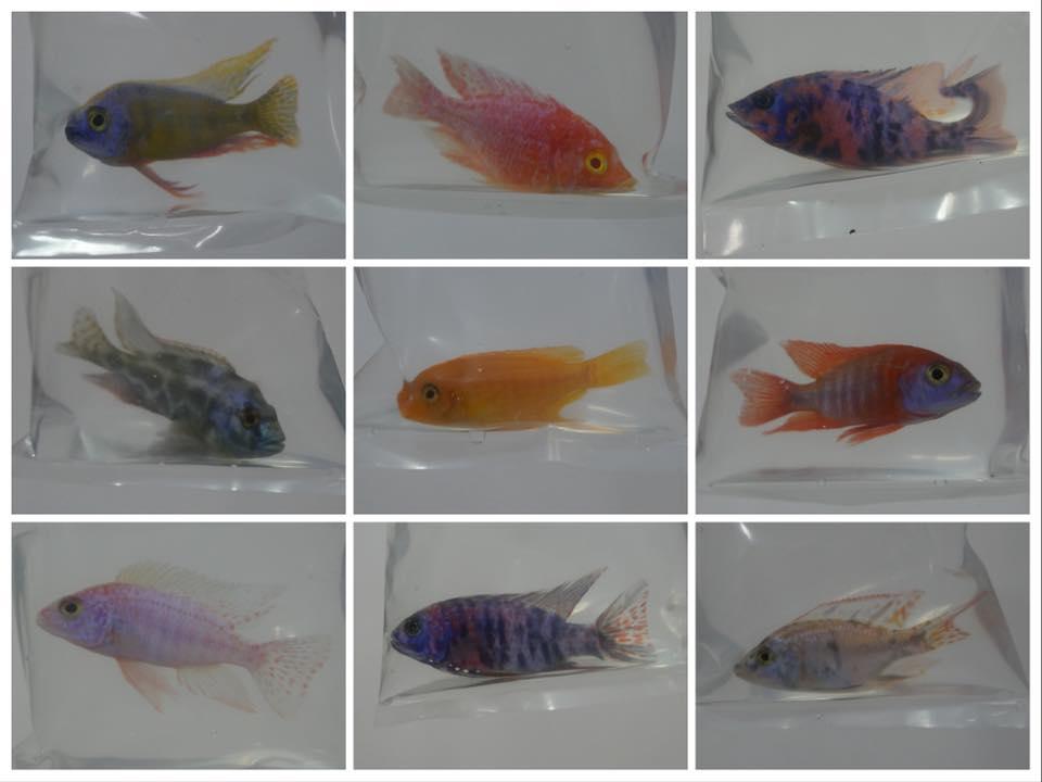 Ornamental fish export for Ornamental fish
