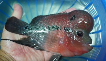 Flowerhorn cichlids for sale and export