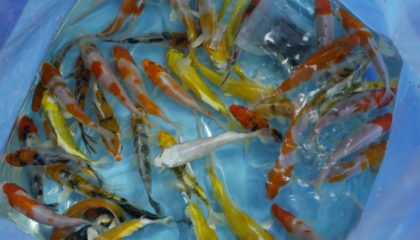 Aquarium fish exporter and supplies , ornamental fish farm from Thailand