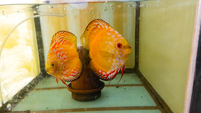 Discus fish farm | Ornamental fish export : Al-Aquarium com