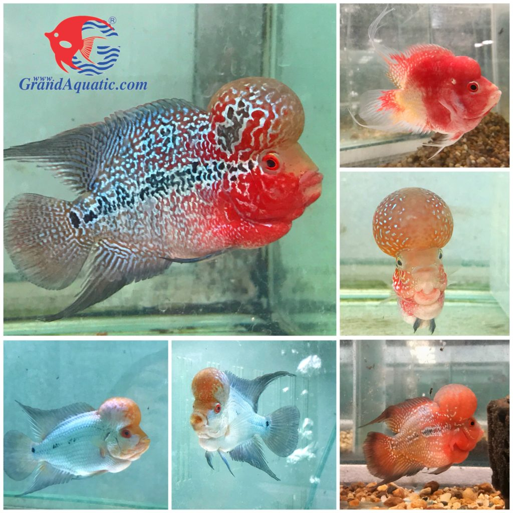 Flowerhorn cichlids fish quality for export to all customers