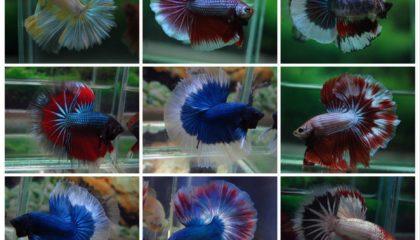 Popular Fish   Ornamental fish export : Al-Aquarium com