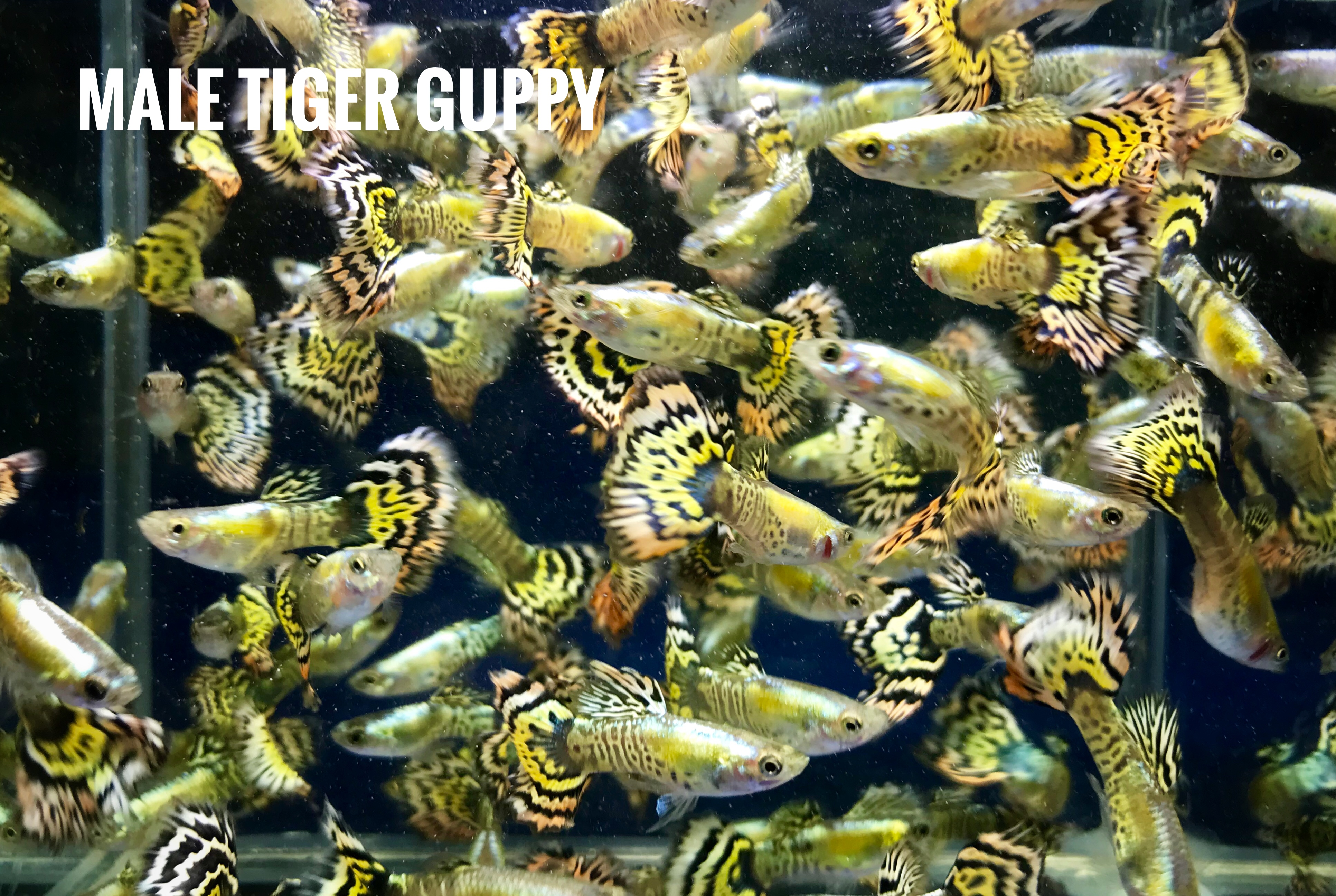 Tigers guppy fish for sale and export